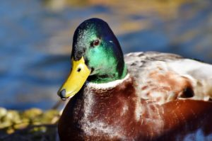 Read more about the article Duck shooting season delayed
