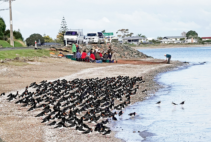 You are currently viewing Oystercatchers caught for tracking